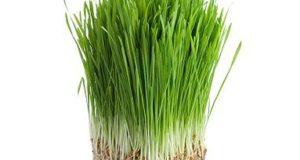 Zielony jęczmień rośnie