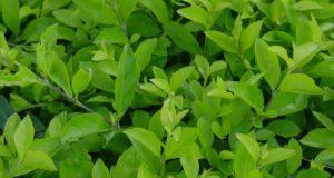 działanie herbaty oolong
