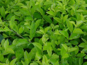 herbata oolong - sposób na odchudzanie