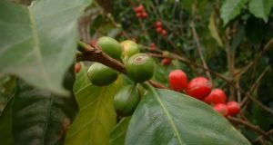 opinie zielona kawa