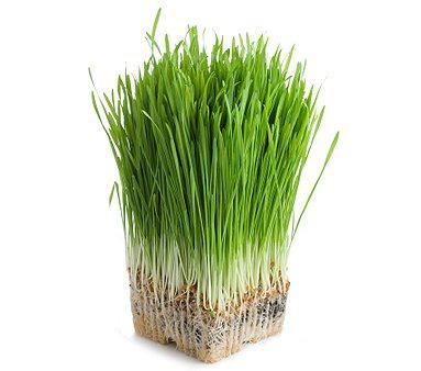 olimp labs zielony jęczmień